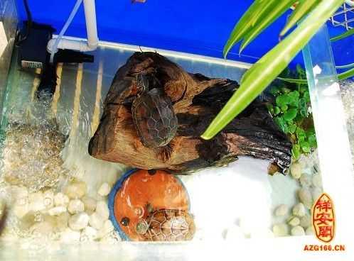 乌龟养几只好风水 养乌龟风水讲究有哪些注意事项