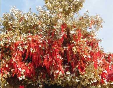 苦楝樹的風水象征含義 門前種樹的風水講究