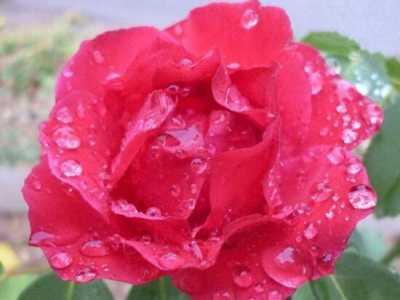 月季花的水扦插方法 5个步骤手把手教你如何扦插月季花